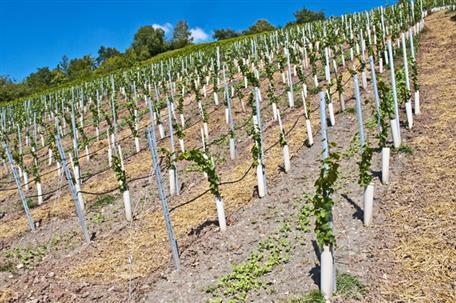 Nuovi impianti viticoli, approvato l'elenco
